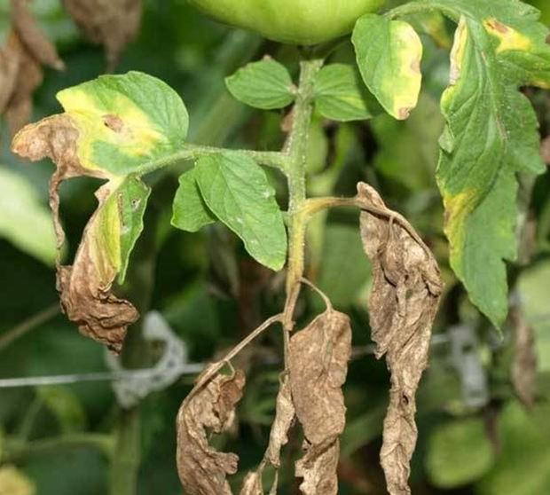 Lasfissia radicale: piante colpite, cause e rimedi