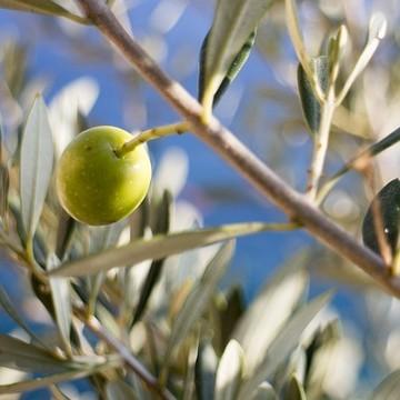 ramo albero di olivo